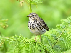 Meadow Pipit (doranstacey) Tags: nature wildlife birds meadow pipit peak district moors nikon d5300 tamron 150600mm