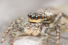 Eyes Front (Rich Lukey) Tags: cute spider jumping insect nikon d7100 sigma 105m macro closeup flash extension achromat homemade diffuser arachnid eyes hunter hairy predator furry