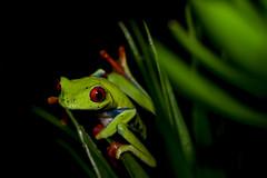 Agalychnis callidryas (PedroJavier92) Tags: frog agalychnis callidryas wildnature wildlife wild nature red green toad macro