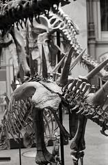 Berlin, Museum für Naturkunde (Alfonso Lazo) Tags: leica m6 hp5 xtol 11 dinosaur