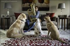 25-52: tuba concert (Dave (www.thePhotonWhisperer.com)) Tags: 52weeksfordogs 52weeksforagnes dog tuba concert brittanyspaniel brittany golden goldenretriever rescue rescuedog bandconcert