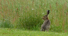 European hare (joeke pieters) Tags: 1470691 panasonicdmcfz150 haas hare lepuseuropaeus europeanhare brownhare