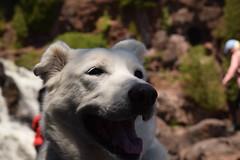 Gooseberry Falls State Park (turn off your computer and go outside) Tags: sunny latespring pet overcastday whitedog dog outdoors june mn 2019 gooseberryfallsstatepark minnesota