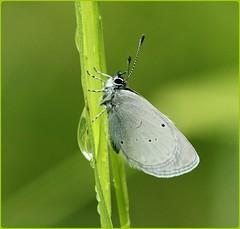 Small Blue aberation II - Sheltering from the rain (glostopcat) Tags: smallbluebutterfly littleblue butterfly insect invertebrate macro rain summer june glos butterflyconservation prestburyhillnaturereserve
