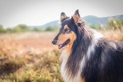 25/52 Leia & hot (shila009) Tags: leia perro dog roughcollie 2552 52weeksfordogs portrait retrato