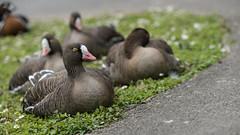 Sleepy corner (PChamaeleoMH) Tags: birds barnes london geese wwt wetlandcentre whitefrontedgeese wwtbarnes redbreastedgeese