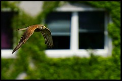 Turmfalke zwischen den Häusern Berlin's .... (tingel79) Tags: turmfalke outdoor berlin day animal tiere birds vögel germany natur nature tele sonya6500 sony photographie photography world flying imflug birdinthesky kestrel