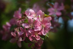 *** (pszcz9) Tags: przyroda nature natura naturaleza kwiat flower flor zbliżenie closeup wiosna spring primavera bokeh beautifulearth sony a77