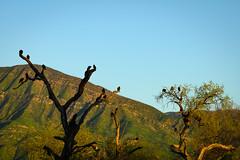 Turkey Vultures (phoca2004) Tags: california birding z6 nikon venturacounty birds ojaimeadows ojai turkeyvulture ojaimeadowspreserve cathartesaura unitedstatesofamerica