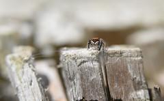 On the ramparts... (willjatkins) Tags: wildlife wildlifeofeurope europeanwildlife animal nature arachnids arachnid arachnidsofeurope spider spiders spidersofeurope europeanspiders salticidae euophrys euophrysfrontalis britishwildlife britishspiders britisharachnids ukwildlife ukarachnids ukspiders hertfordshirewildlife hertfordshirespiders hemelhempstead hemelhempsteadwildlife closeupwildlife closeup macro macrowildlife nikond610 nikon sigma105mm
