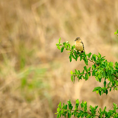Morelet's Seedeater (phoca2004) Tags: salineño sporophilamorelleti birding z6 lowerriograndevalley birds nikon starrcounty salineñowildlifepreserve moreletsseedeater texas salineno unitedstatesofamerica