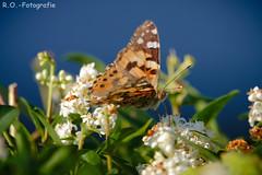 Schmetterling / Butterfly (R.O. - Fotografie) Tags: schmetterling butterfly nieheim garten garden rofotografie nahaufnahme closeup close up panasonic lumix dmcgx8 dmc gx8 gx 8 leica 100400mm outdoor outside natur nature