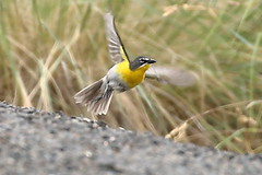 Yellow-breasted Chat, Umatilla Co., OR_7612(1) (Patterns and Light) Tags: icteria virens icteriavirens 2019 oregon flight flying food nesting