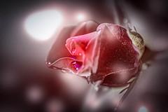 Blüten und Blätter (markus.eymann@hotmail.ch) Tags: rose grau nikonistas pflanze romantisch photoshopartist adobephotoshopcc blume adobelightroom niikonphotography natur fotografie