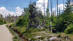 Leben und Tod nebeneinander 1/3 (1elf12) Tags: tree baum wurzeln torfhaus moor harz germany deutschland wald forest