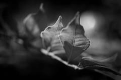 Blüten und Blätter (markus.eymann@hotmail.ch) Tags: grün nikonistas pflanze photoshopartist fotografie niikonphotography adobelightroom natur adobephotoshopcc