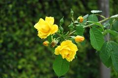 roses in june (4) (mgheiss) Tags: rosen juni june roses canong1xmark2 powershot