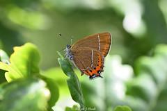 Black Hairstreak (Ralph J Clark) Tags: blackhairstreak butterfly summer eastsussex male