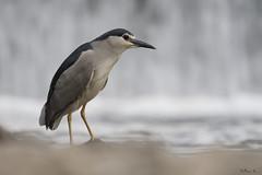 Ślepowron/Night heron (mirosławkról) Tags: wild wildlife animal bird poland nature nikonnaturephotography 150600 ornithology ślepowron night heron nycticorax river wisła