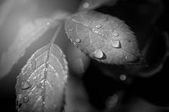 DSC_0316-2-Bearbeitet.jpg (markus.eymann@hotmail.ch) Tags: dunkel nikonistas pflanze photoshopartist fotografie niikonphotography adobelightroom adobephotoshopcc natur blatt farblos grau textur schwarz