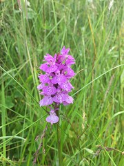 Pyramidal Orchid (worldthroughalens74) Tags: