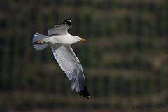Goéland leucophée - Yellow-legged Gull (Larus michahellis) - Ampuis - Barrage de Vaugris (Rhône) France, le 23 juin 2019 (Loïc Le Comte) Tags: goélandleucophée yellowleggedgull larusmichahellis ampuis barragedevaugris