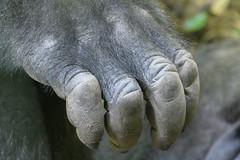 Gorilla (PMillera4) Tags: gorilla hand primate bronxzoo zoo