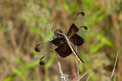 Libellula Luctuosa Female (Gene Ellison) Tags: insect dragonfly brown yellow clear wings eyes legs feeding twig nature photography naturephotography fuifilm velvia sooc