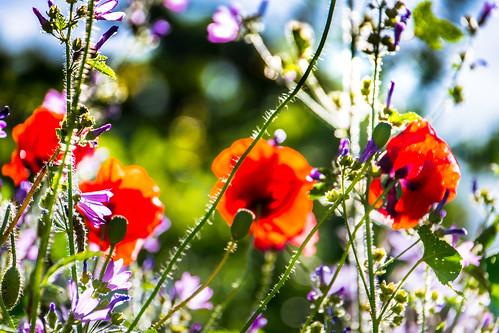 Midsummer - Flower meadow in backlight