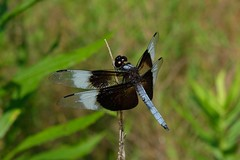 Libellula Luctuosa Male Dragonfly 2 (Gene Ellison) Tags: insect dragonfly black brown blue clear wings eyes legs feeding twig nature photography naturephotography fuifilm velvia sooc