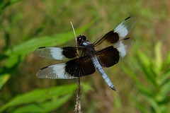 Libellula Luctuosa Male Dragonfly 1 (Gene Ellison) Tags: insect dragonfly black brown blue clear wings eyes legs feeding twig nature photography naturephotography fuifilm velvia sooc