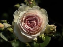 rose in a vintage glass II (rainerralph) Tags: omdem5markii flowers blumen rose meyeroptikgörlitz vintage orestegon2829