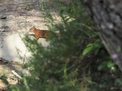 Ecureuil (Olympus Passion eric leroy) Tags: olympus omd em1x omdem1 omdem1x zuiko wildlife wwwolympuspassionfr 40150pro mc14 40150f28mc14