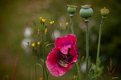 Mohn (Papaver somniferum) oder (Papaver rhoeas) (wb.fotografie) Tags: klatschmohn papaverrhoeas schlafmohn papaversomniferum mohn rot wiese poppy opiumpoppy red meadow