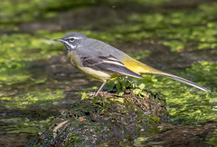 DSC8102 Grey Wagtail.. (Jeff Lack Wildlife&Nature) Tags: greywagtail wagtail wagtails birds avian animal animals wildlife wildbirds wetlands waterbirds wildlifephotography waterways jefflackphotography marshland marshes reservoirs riverbirds rivers lakes ponds countryside nature coth5