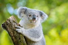 Koala (Mathias Appel) Tags: koala marsupial beuteltier animal zoo tier tierpark tree baum langsam slow lazy faul fell fur furry pelzig tiere animals cute niedlich adorable eyes augen klein small family familie herzlich zoom porträt bokeh nikon d7100 tamron 70200 f28 grün green yellow gelb grey grau australia australien phascolarctos cinereus