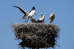 White stork chicks on their nest (Corinna John) Tags: ciconiaciconia animal babyanimals bird black blue chicks cosy cute feathers flapping nature nest nestlings sky stork summer sunny white whitestork wildlife wings young