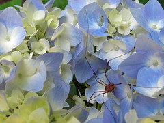 Spider On Flowers. (dccradio) Tags: middletown md maryland frederickcounty flower floral flowers bloom blooms blooming blossom blossoming blossoms plant greenery foliage leaf leaves nature natural pretty beauty beautiful canon powershot elph 520hs june summer summertime wednesday morning wednesdaymorning goodmorning garden surreybrooke surreybrookegardens gardens spider arachnid insect critter creature daddylonglegs blue white