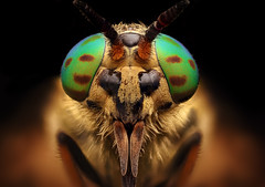 Chrysops relictu (davidshred) Tags: horsefly