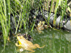 Frogs In The Water. (dccradio) Tags: middletown md maryland frog frogs pair duo bullfrog bullfrogs grass tallgrass water pond bodyofwater screen wildlife creature critter animal outdoor outdoors amphibians reflection june wednesday summer summertime wednesdaymorning morning goodmorning nikon coolpix l340 bridgecamera sureybrooke surreybrookegardens gardens