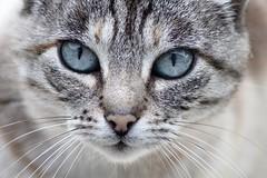 Obsession (Le centre Bretagne, ça vous gagne) Tags: regard oeil yeux chat moustache