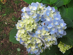 Hydrangea Blossoms. (dccradio) Tags: middletown md maryland frederickcounty flower floral flowers bloom blooms blooming blossom blossoming blossoms plant greenery foliage leaf leaves nature natural pretty beauty beautiful canon powershot elph 520hs june summer summertime wednesday morning wednesdaymorning goodmorning garden surreybrooke surreybrookegardens gardens spider arachnid insect critter creature daddylonglegs blue white