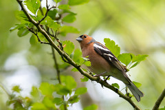 Chaffinch (oandrews) Tags: 30dayswild animal animals bird birds canon canon70d canonuk chaffinch fringillacoelebs nature naturereserve northamptonshire outdoors shortandsouthwickwoods wildlife wildlifetrusts wood woodland woods peterborough england unitedkingdom