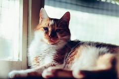 Whiska (Marina Pokupcic) Tags: cat cats animals animalportrait window light windowlight pets