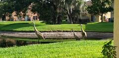 Sandhill Cranes (heytampa) Tags: pond birds sandhillcranes
