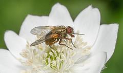 Fly Macro (Dibbly Dobbler) Tags: sonya7rii 90mm macro fly