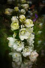 Delphiniums (judy dean) Tags: judydean 2019 garden texture ps delphiniums white flowers