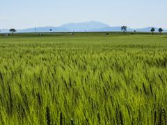 Gramatneusiedl, Austria (Márton Botond) Tags: gramatneusiedl niederösterreich loweraustria austria österreich europa panasoniclumixdmclz20 nature landscape wheat city naturephoto