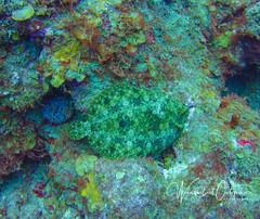 Peacock Flounder (wanderlust octopus) Tags: 2018 august caribbeansea coralreef marinelife oceanlife peacockflounder saba sabadivers sabamarinelife scubadiving sealife underwater underwatersaba diving travel