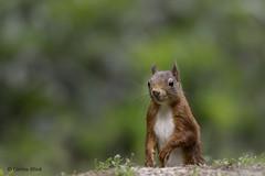 Red squirrel (Corine Bliek) Tags: sciurusvulgaris mammal animal nature natuur wildlife naturephotography zoogdier red